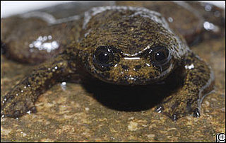 Lungless Frog Found in Indonesia