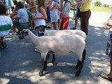 Lambs Galore