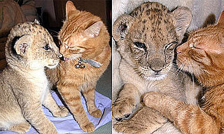 Cat and Lion Cub are Best Pals