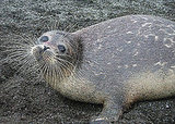 The Caspian Seal