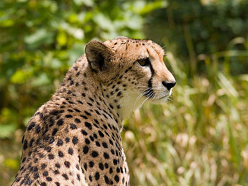 Can You Tell the Difference Between a Cheetah and a Leopard?