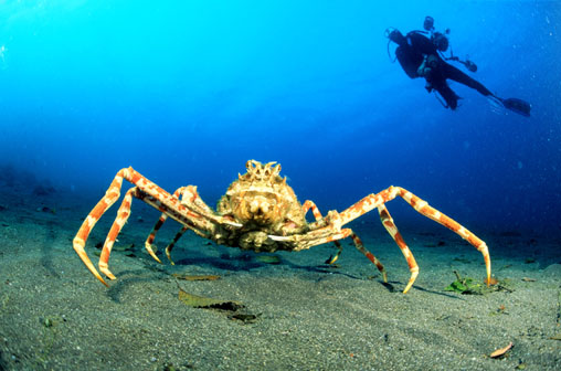 Japanese Spider Crab
