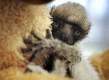 Meet Tahina, the Baby Madagascar Lemur