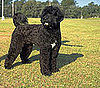 What Do You Know About Portuguese Water Dogs?