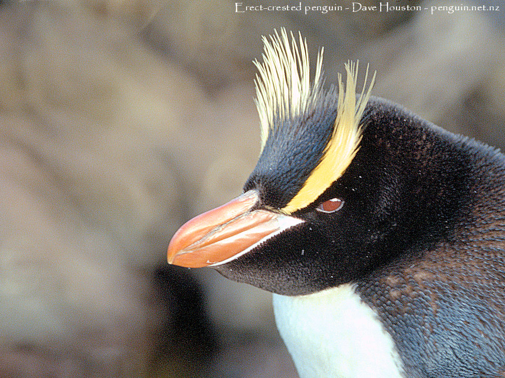 Erect Crested Penguins