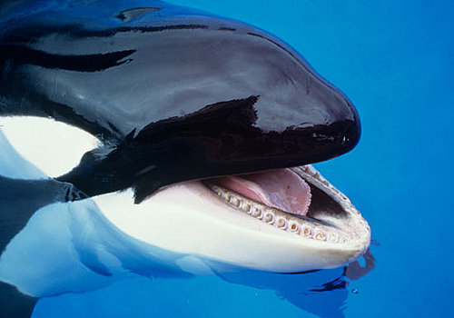 Creature Features: Killer Whales