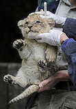 Check Out a Four-Week-Old Baby Lion Cub Born at a Zoo in Osnabrueck, Germany,