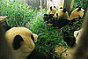 The Scoop: Pandas Fly the Friendly Skies Post-Earthquake