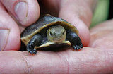 The Scoop: Endangered Chinese Box Turtle Born in Bristol