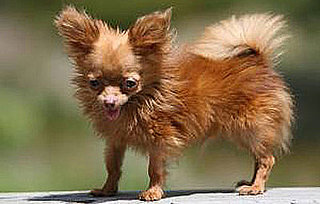 The Scoop: Dancer, One of the World's Smallest Dogs, Dies