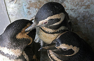 Penguins Are Air Force Jet Set: In the LINK of an Eye!