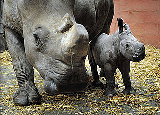 White Rhino, Keyah, Born at Cerza Zoo in France