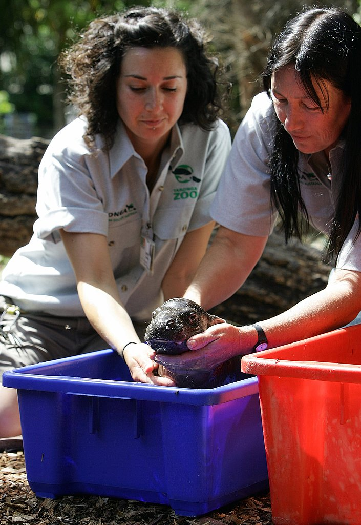 Meet Monifa: One-Month-Old Pygmy Hippo