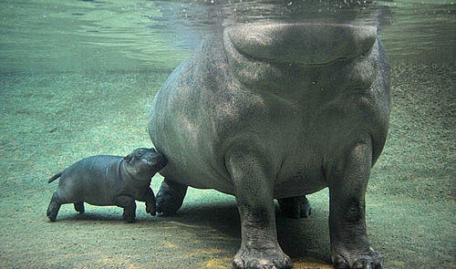 It's Swimtime For Berlin's Baby Hippo!