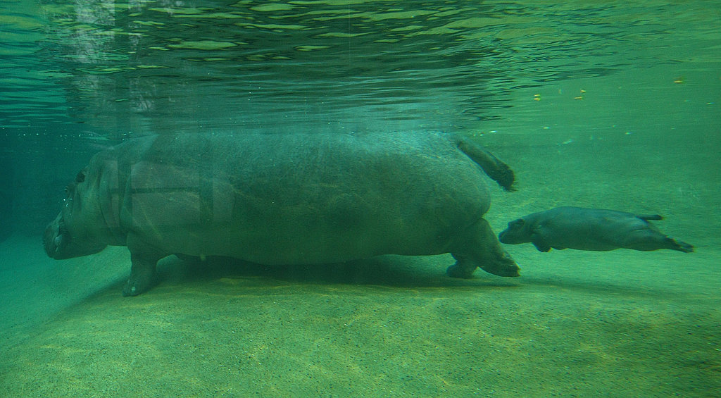 Super-Cute Baby Hippo Swims at Berlin Zoo