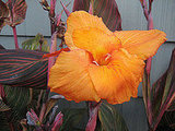Canna blooms are beautiful, and I love the way the orange striping in the leaves is echoed in the bloom.