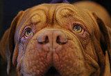 Breed Spotlight: Dogue de Bordeaux