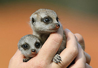 Cute Alert: A Sydney Zoo Welcomes Baby Meerkats!