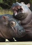 Hamburg's Baby Hippos