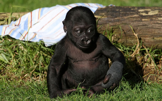 New Gorilla at San Francisco Zoo Gets Named Hasani