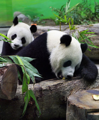 Panda Joke Causes National Uproar: In the LINK of an Eye!