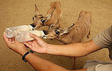 Two Rare Peninsular Pronghorns Born at Los Angeles Zoo