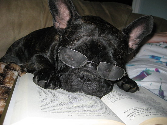 my studious little frenchie