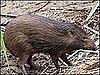 Pygmy Pigs Thriving in Wild