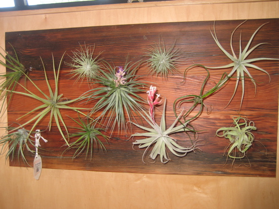 Framed Air Plants