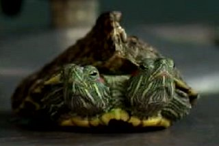 Two-Headed Turtle Has Lady Troubles