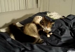 Extreme Cuddling: Ferret & Cat Edition