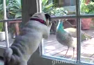 The Pug Vs. The Peacock