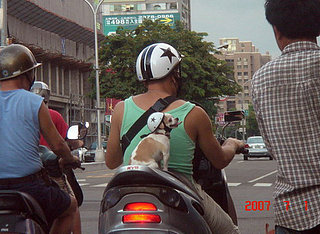 Cute Alert: Chihuahua on a Motorbike