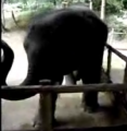 Baby Elephant Can Back That Thang Up