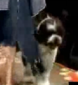 Dog Has A Sh*tty Runway Walk