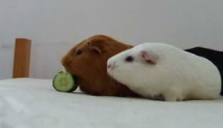 Guinea Pigs: Not Much Into Sharing