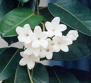 Flowers 101: Stephanotis