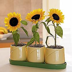 For the greenthumb:: RedEnvelope - sunflower growing kit