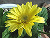 Plants That Purify:  Gerbera Daisy