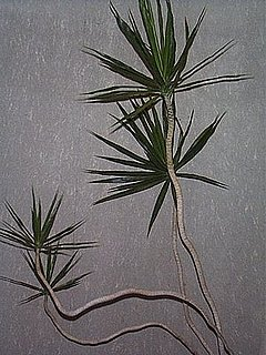 Plants That Purify:  Dracaena