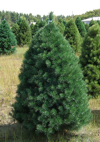 Name This Christmas Tree