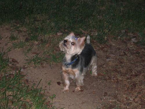 Frankie, the Yorkie, is birdwatching!