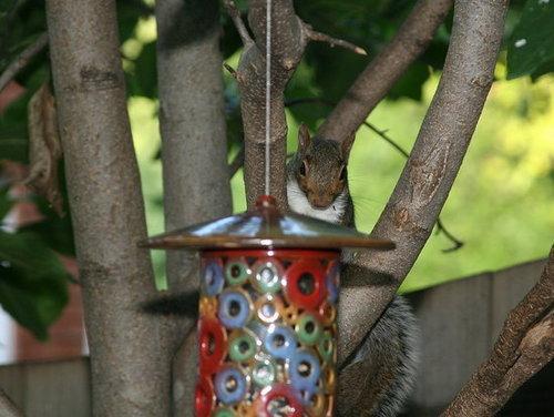 Squirrels -- Buffet Crashers