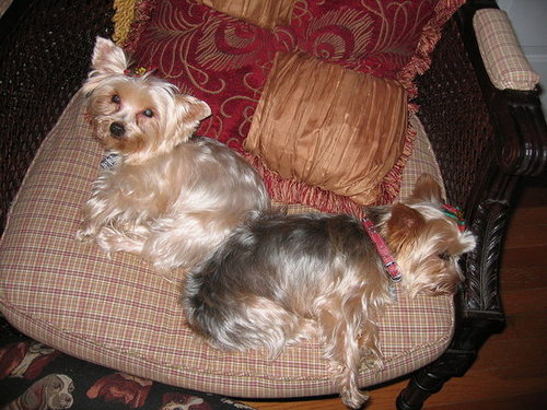 Wagged out Yorkies